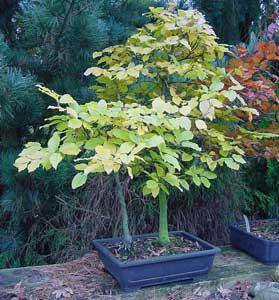 Haya europea faya fagus sylvatica bonsai - Bonsai de haya ...