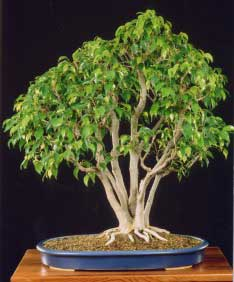 ficus benjamina ficus enano amate ficus benjamina bonsai. Black Bedroom Furniture Sets. Home Design Ideas