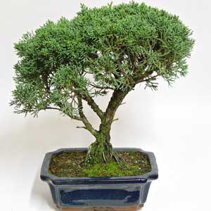 Bonsai - Enebro