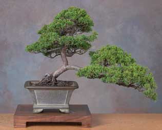 Bonsai - Enebro de China, Junípero chino, Sabina de China