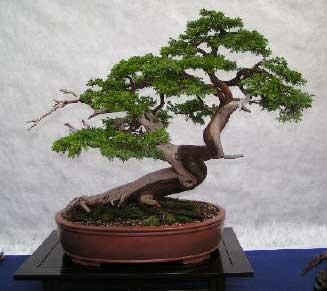 Enebro de las pagodas jun pero de agujas juniperus - Como cuidar un bonsai ...