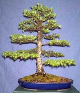Bonsai - Alerce