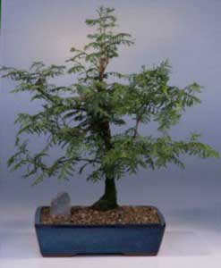 Bonsai - Falsa secuoya