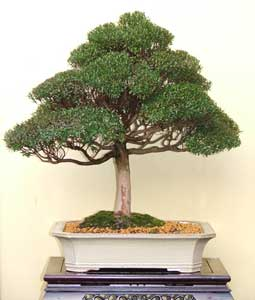 Bonsai - Mirto, Arrayán, Murta