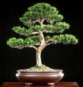 Présence des Maîtres de Sagesse dans LIBERTE des MAITRES myrtus-communis-bonsai