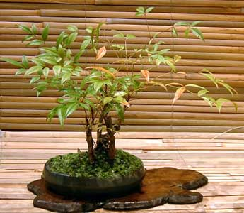 Bonsai - Nandina, Bambú sagrado