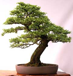 Bonsai - Hualo, Roble maulino, Roble colorado, Rauli