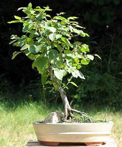 Bonsai - Carpe negro
