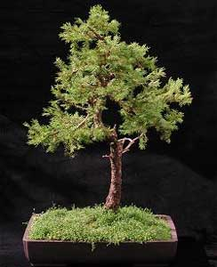Abeto rojo rbol de navidad picea abies bonsai - Arbol de navidad abeto ...