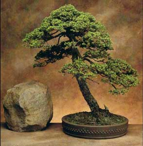 Bonsai - Picea