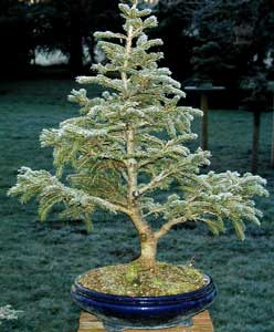 Bonsai - Picea glauca