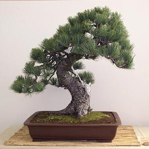 Bonsai - Pino cembro