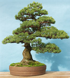 Bonsai - Pino blanco japonés