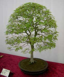 Bonsai - Lentisco de China, Pistacho chino