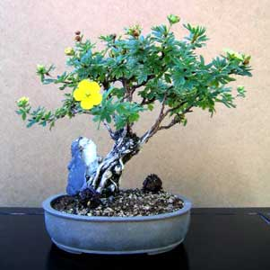 Bonsai - Potentilla, Cincoenrama, Cinco en rama