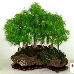 Producindo planta como cultivar un bonsai for Como cultivar bonsais