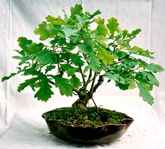 Bonsai - Roble, Roble albar, Carvallo