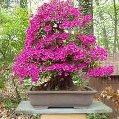Bonsai - Rododendro