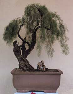 Bonsai - Taray de China, Tamarisco