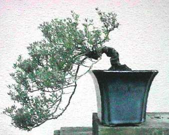 Bonsai - Tomillo, Tremoncillo, Estremoncillo