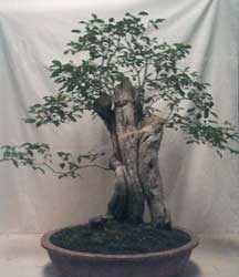 Bonsai - Vitex, Lagundi