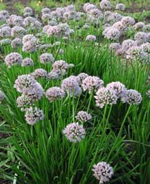 Alium garlic wedding flowers pinterest for Infos jardin