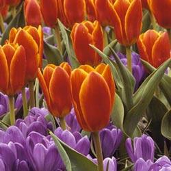 Tulipán, Tulipanes botánicos, Tulipanes darwin, Tulipanes flor de  lys
