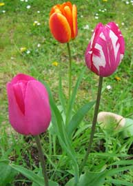 [Imagen: tulipanes.jpg]