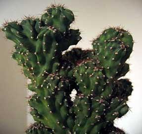 algunos tipos de cactus