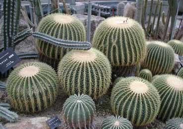 algunos tipos de cactus parte 2