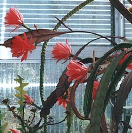 Cactus de Pascua, Cactus de Navidad, Pluma Sta Teresa y similares..... Epiphyllum-hybrida
