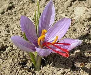 Azafran Flor De Azafran Crocus Sativus - Cultivo-azafran