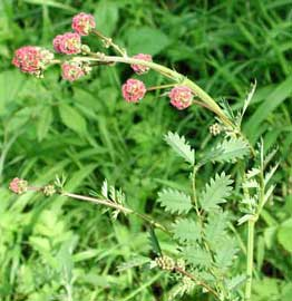 Sanguisorba minor = Poterium sanguisorba