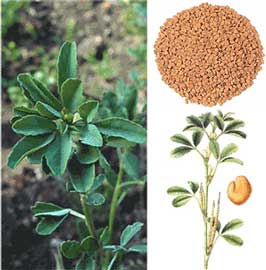 alholva trigonella foenum-graecum