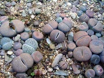 Lithops Piedras vivas Piedras vivientes Cacto piedra Cactus