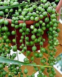 Rosario bolitas colgantes planta rosario senecio for Plantas crasas interior