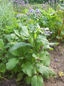 Borraja - Borago officinalis