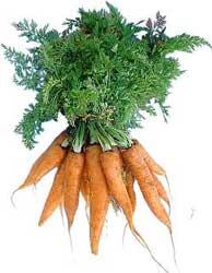 Zanahoria Zanahorias Daucus Carota Info:siembra, planatacion, germinacion, riego, sol y consejos básicos. zanahoria zanahorias daucus carota