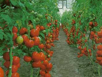 Tomate tomatera jitomate lycopersicum esculentum for Plantaciones verticales