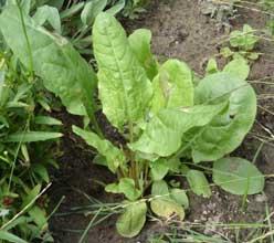 Acedera - Rumex acetosa