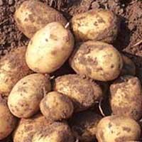 Patata, Patatas, Papa, Papas