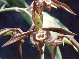 http://fichas.infojardin.com/foto-orquideas/catasetum-saccatum.jpg