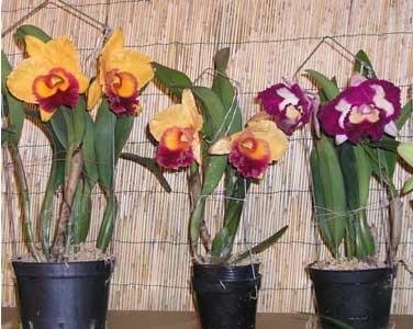 http://fichas.infojardin.com/foto-orquideas/cattleya.jpg