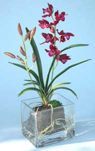 Cymbidium Mini Red