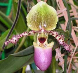 http://fichas.infojardin.com/foto-orquideas/paphiopedilum-4.jpg
