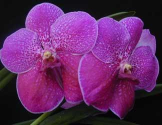Vanda vanda spp for Cuidado de las orquideas moradas