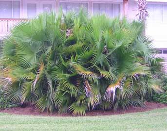 Paurotis, Palmera de Florida, Palma de pantano, Palmito de sierra