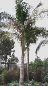 palmera de cunningham seafortia palma de cunningham