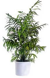 Chamaedorea camaedorea palmera de sal n palma de sal n for Palmeras plantas de interior