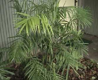 Palma Bambu Palmera Bambu Palmera Seifriz De Bambu Chamaedorea